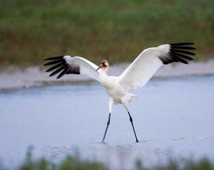 Whooping Crane Walking on Water
