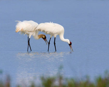 Whooping Cranes Feeding on Crabs