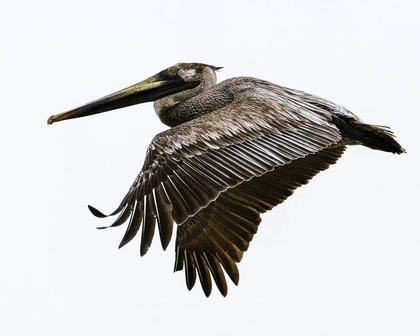 Brown Pelican_003