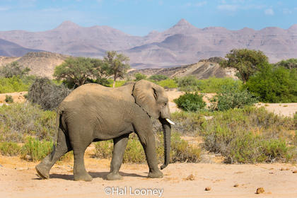 _F5U8594 Desert-adapted Elephant, Damaraland