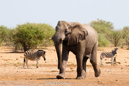 _F5U6454 Bull Elephant Coming to Water Hole