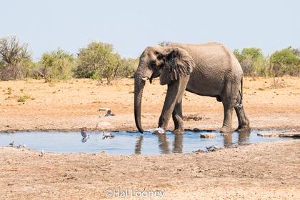 _F5U6550 Bull Elephant at Water Hole