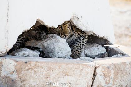 _F5U7195 Leopard Hide