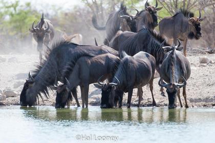 _F5U7427 Blue Wildebeest