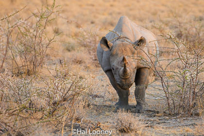 _F5U8130 Black Rhinoceros