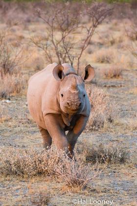 _F5U8210 Young Black Rhinoceros