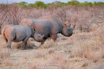 _F5U8229 Black Rhinoceros Mom and Young