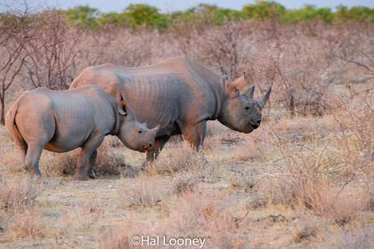 _F5U8229 Black Rhinoceros Mom and Young