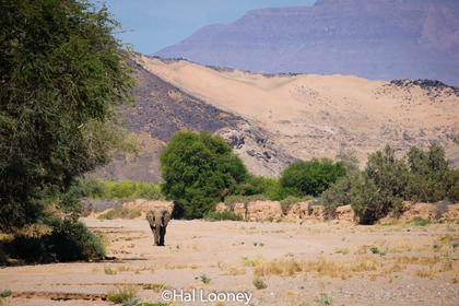 _F5U8871 Desert-adapted Elephant, Damaraland