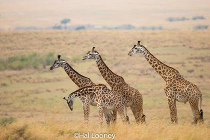 _F5U1496 Giraffe Family