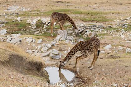 _59E0406 Giraffe at Water Hole