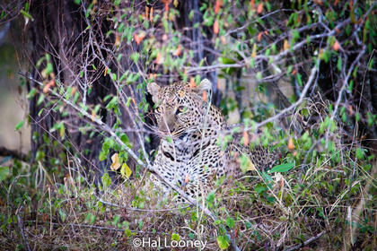 _59E1833 Leopard