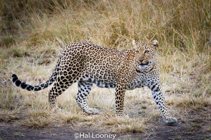 _59E1845 Leopard