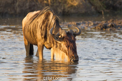 _59E2032 Wildebeest