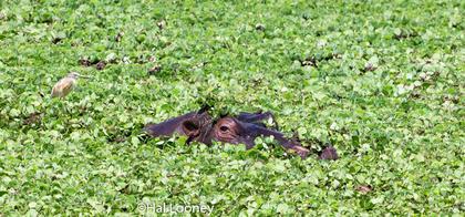 _F5U2114 Hippo and Passenger