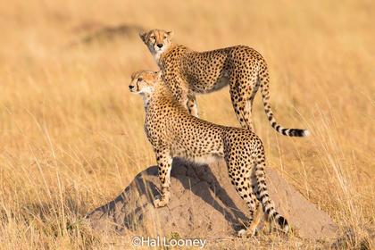 _F5U3097 Young Cheetah, First Hunt