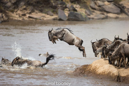 F5U1373 Wildebeest Crossing