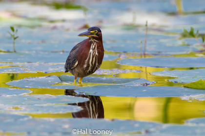 Green Heron in Reflection