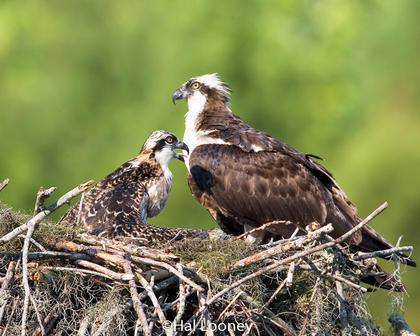 Osprey and Young on Nest