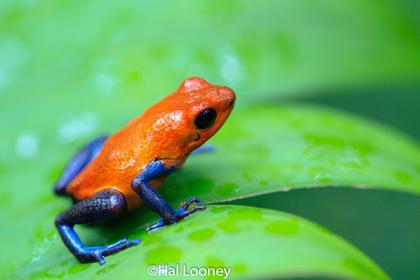 Poison Dart Frog (Blue Jeans Frog)
