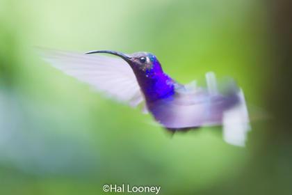 Violet Saberwing, Costa Rica
