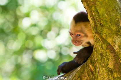 White-faced Monkey 2