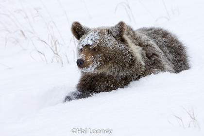 Grizzly Cub in Deep Snow