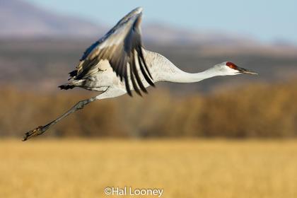 _005 Sandhill Crane