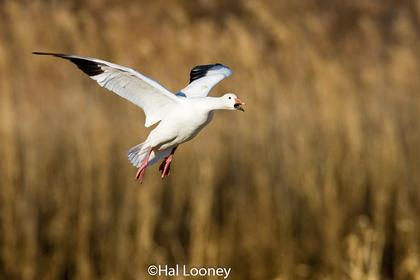 _007 Snow Goose Landing