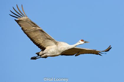 _013 Crane Flight