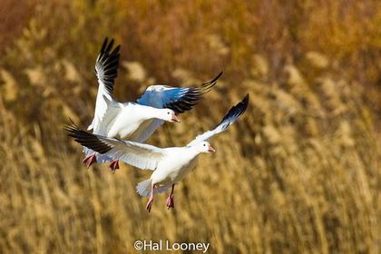 _036 Snow Geese Landing