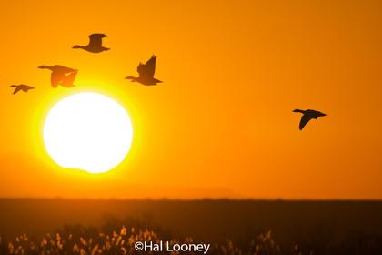 _048 Sunrise, Snow Geese