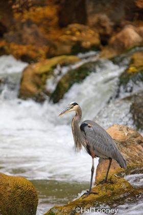 _120 Blue Heron in Waterfall