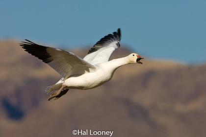 _017 Snow Goose Takeoff