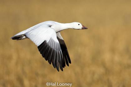 _019 Elegant Snow Goose