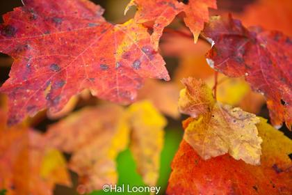 Interpretive, Leaves, Close-up, Gotham, NH