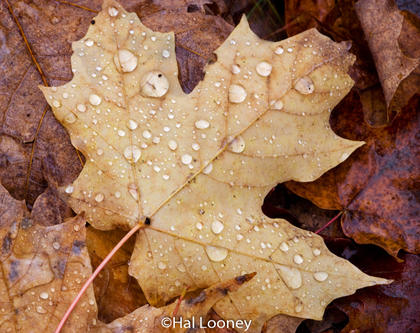 Leaf, Macro, UP Michigan