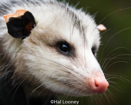 _2855 O'Possum