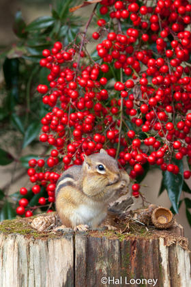 Chubby Cheeks, Eastern Chipmunk