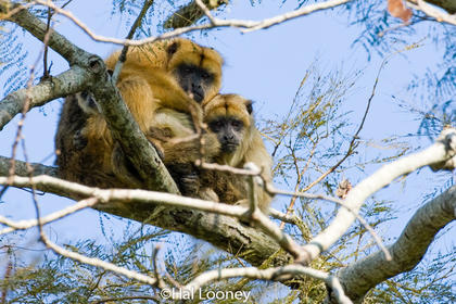 Howler Monkey and Young, Argentina
