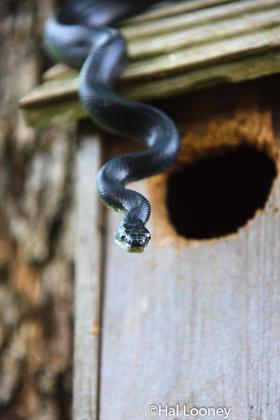 Mr. Rat Snake
