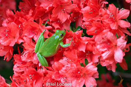 Tree Frog in Azalea