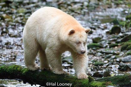 Spirit Bear, Great Bear Rainforest (2}