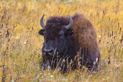 Bison, Riding Mountain, Manitoba
