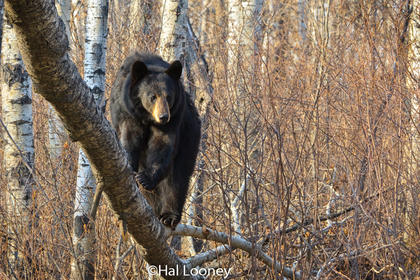 Black Bear, Riding Mountain, Manitoba