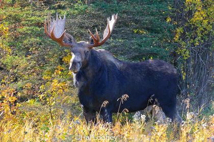 Bull Moose, Jack Creek,  Riding mountain