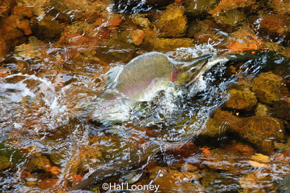 Going Home, Pink Salmon, Riordan