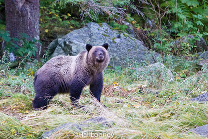 Grizzly, Mussel Inlet, Great Bear Rainforest, BC (2)