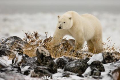 Polar Bear on Rocks, Hudson Bay, Manitoba 2