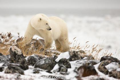 Polar Bear on Rocks, Hudson Bay, Manitoba
